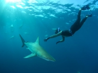 gallery-shark